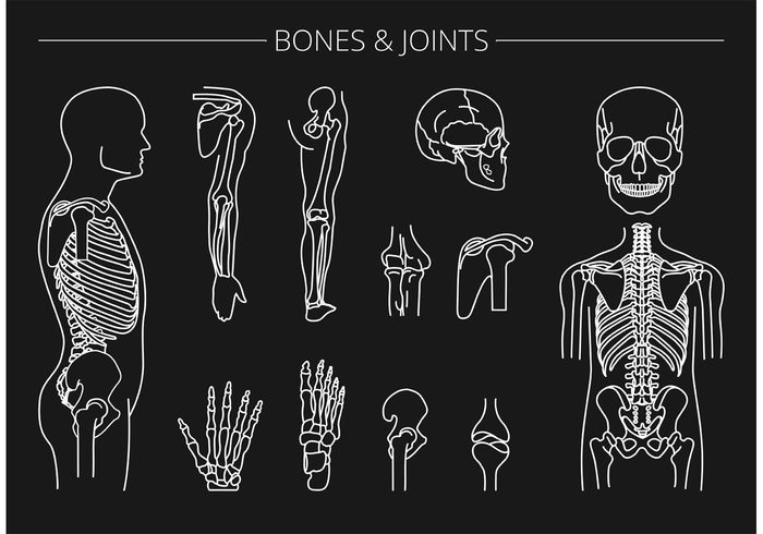 Free Vector Bones And Joints