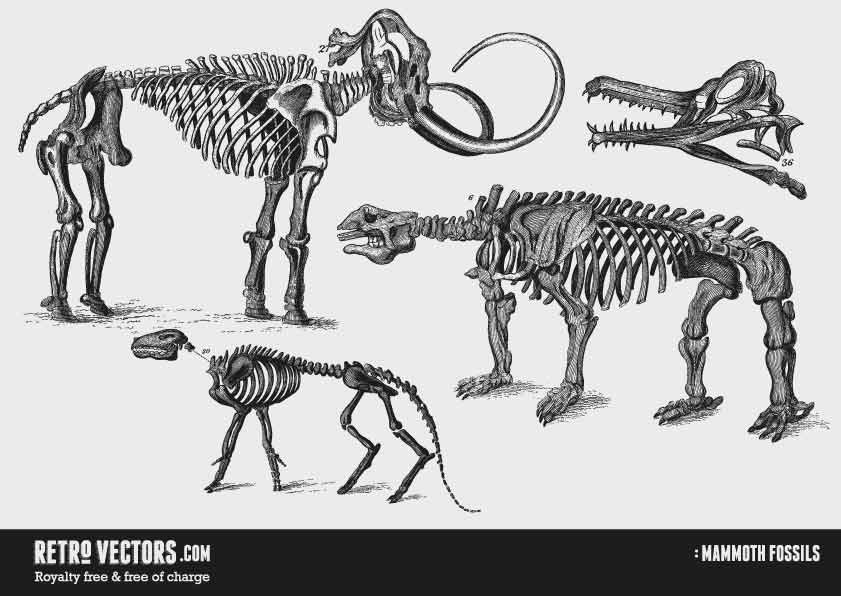 Mammoth Fossils/skeletons