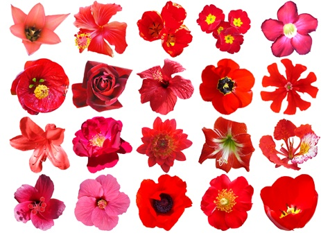 Red Flowers: Free HQ PSD and Vector Pack