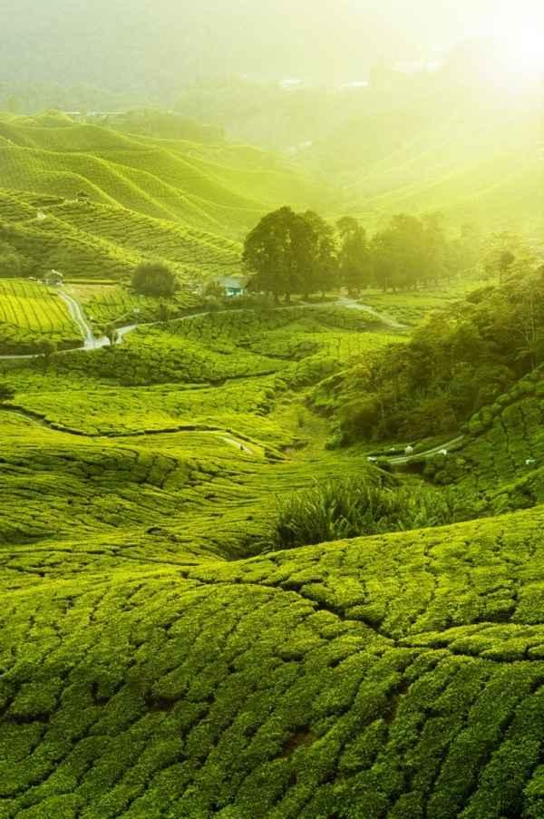 high-definition picture tea plantation landscape 5