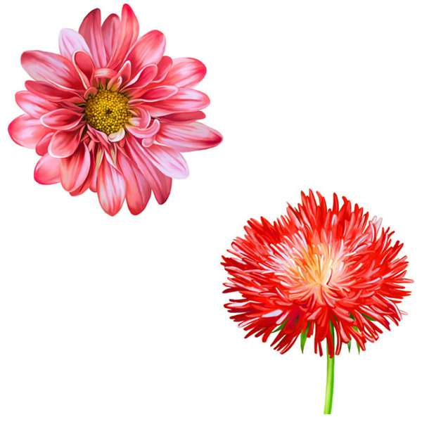 Aster with cornflower vector pictures
