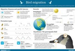 Bird Migration [Infographic]