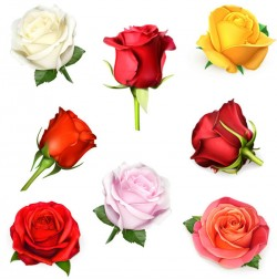 Rose vector pictures