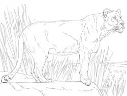Standing Lioness coloring page | Free Printable Coloring Pages