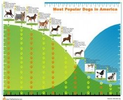Top10 Most Popular Dogs In America Infographic