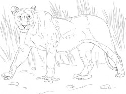 Walking Lioness coloring page | Free Printable Coloring Pages