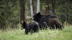 Bears, Cub, Family, Walk, Couple laptop 1366×768 HD Background