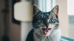 Cat, Scream, Emotion laptop 1366×768 HD Background