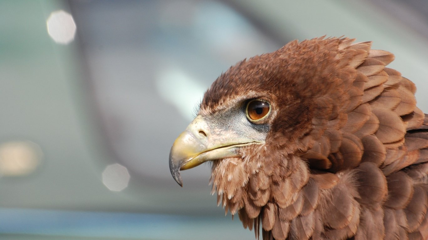 Eagle, Beak, Bird, Feathers, Predator laptop 1366×768 HD Background