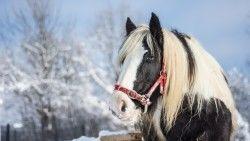 Horse, Stallion, Winter laptop 1366×768 HD Background