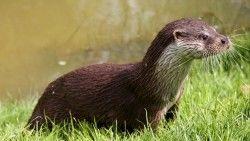 Otter, Wet, Grass laptop 1366×768 HD Background