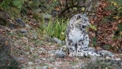 Snow leopard, Predator, Grin laptop 1366×768 HD Background