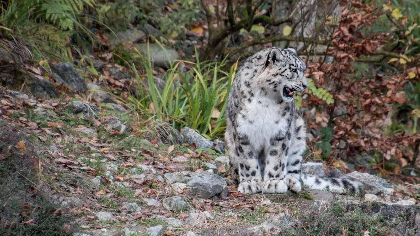 Snow leopard, Predator, Grin laptop 1366×768 HD Background
