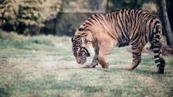Tiger, Big cat, Predator, Walking laptop 1366×768 HD Background