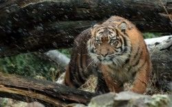 Wild Sumatran Tiger 4K Wallpapers