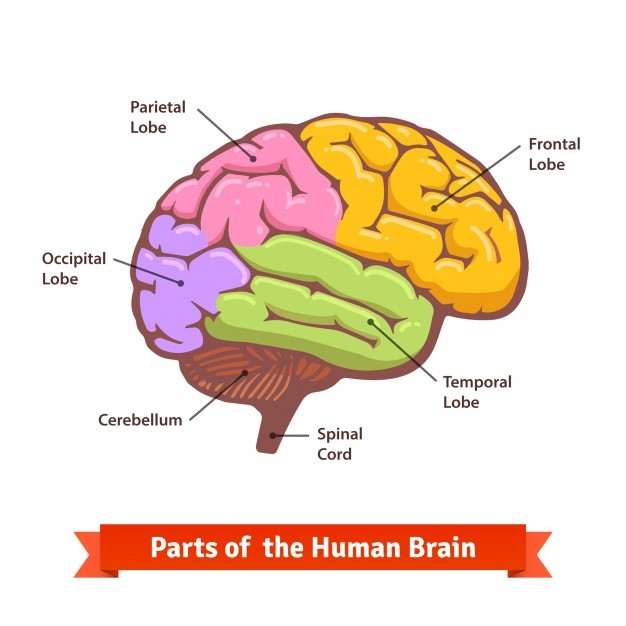Colored and labeled human brain diagram