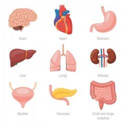 human visceral organs illustration vectors set 04