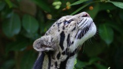 wallpaper clouded leopard