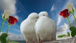 wallpaper 1920×1080 doves
