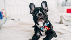 Wallpaper bulldog