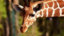 Wallpaper giraffe