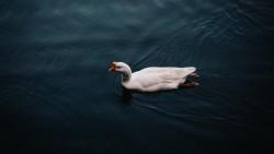 Wallpaper goose