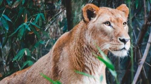 Wallpaper lioness