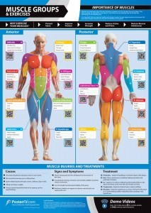 Muscle Groups & Exercises Gym Poster