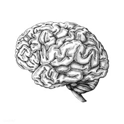 Hand drawn human brain