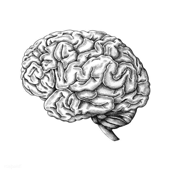 Hand drawn human brain