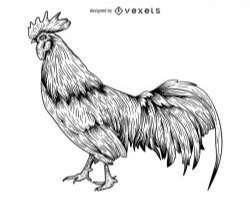 Rooster engraving illustration