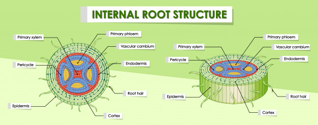 Diagram showing internal root structure