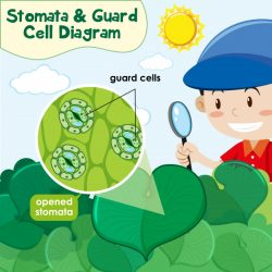 Diagram showing stomata and guard cell