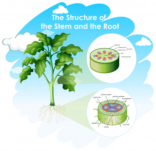 Diagramm showing structure of stem and root