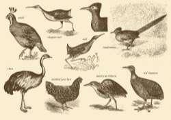 Flightless Birds Drawings