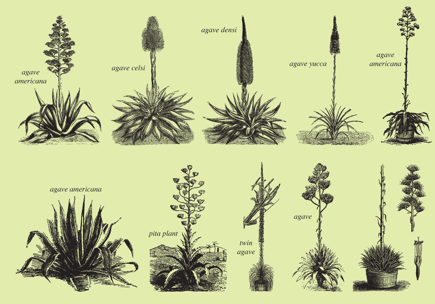 Agave And Maguey Drawings
