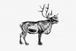 European reindeer shade drawing
