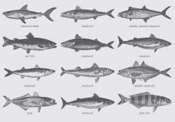 Mackerel Drawings