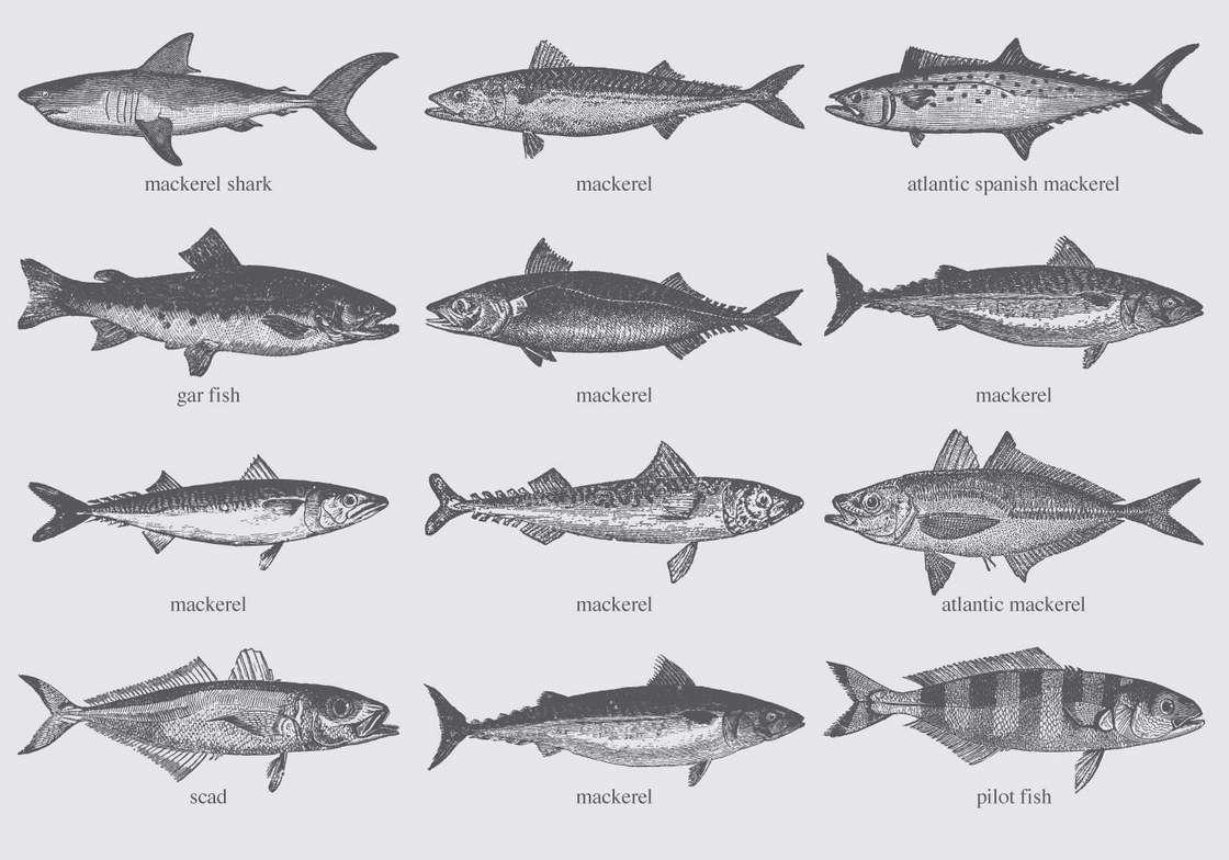 Mackerel Drawings