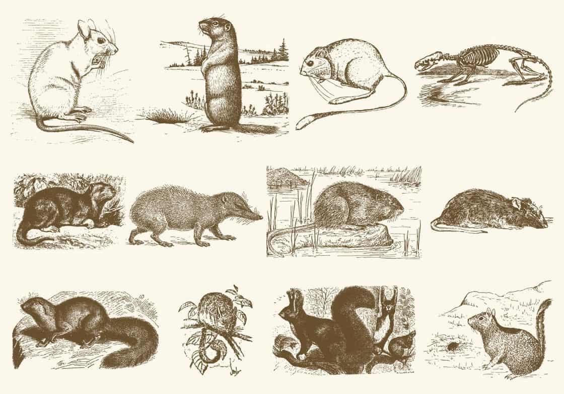 Sepia Rodent Illustrations