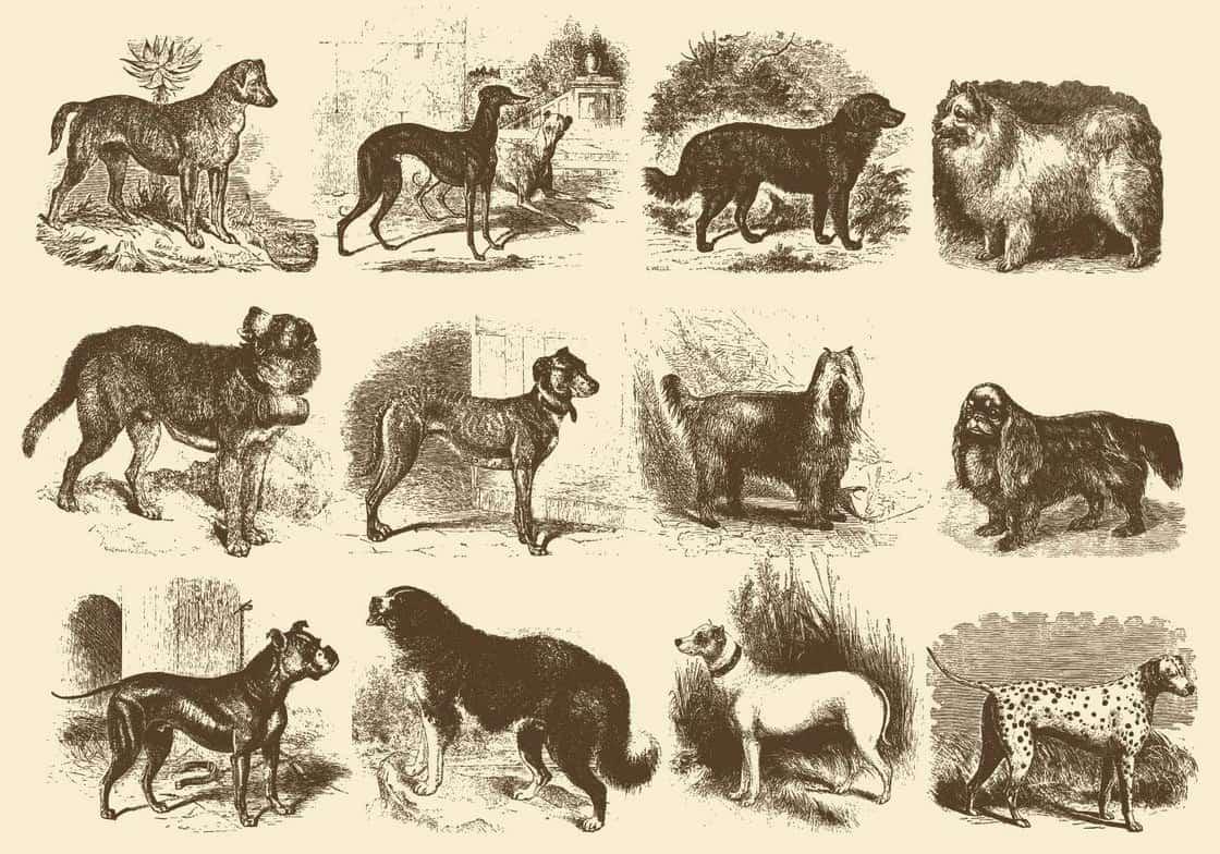 Vintage Dog Illustrations