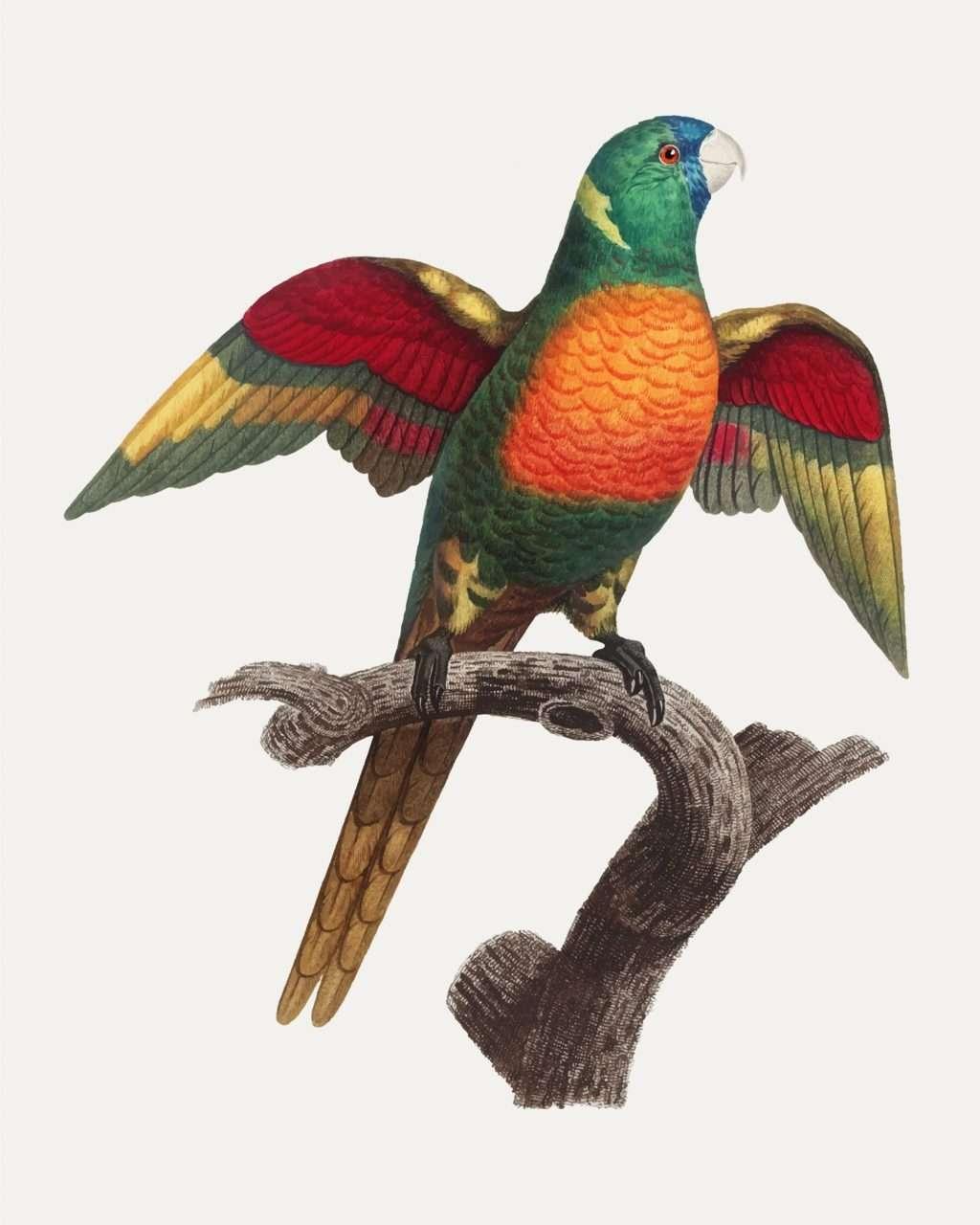 Blue-headed pionus parrot